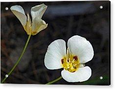 Mariposa Lilies Acrylic Print by Jennifer Nelson