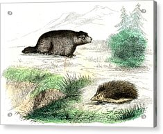 Marmot And Hedgehog Acrylic Print by Collection Abecasis