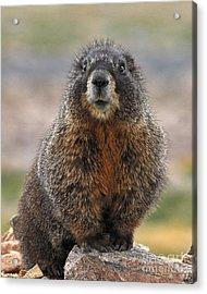 Acrylic Print featuring the photograph Marmot by Mae Wertz