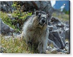 Marmot In Assiniboine Park, Canada Acrylic Print by Howie Garber