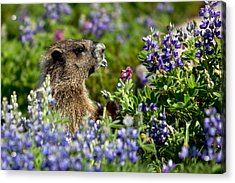 Marmot Mount Rainier National Park Acrylic Print by Bob Noble Photography