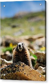 Marmot On A Rock Acrylic Print by Bonnie Fink