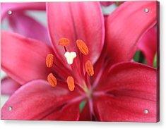 Maroon Lilies Acrylic Print by Cary Amos