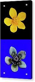 Marsh Marigold In Uv Light And Daylight Acrylic Print
