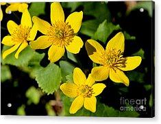 Marsh Marigold Acrylic Print