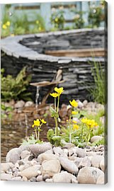 Marsh Marigolds Acrylic Print by Anne Gilbert