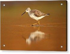 Marsh Sandpiper (tringa Stagnatilis) Acrylic Print by Photostock-israel