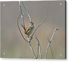 Marsh Wren Acrylic Print by Kathy King