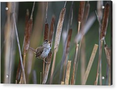 Marsh Wren Singing From A Cattail Acrylic Print