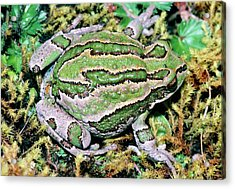 Marsupial Frog Acrylic Print by Dr Morley Read/science Photo Library