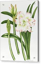 Mary Lou Amaryllis Acrylic Print