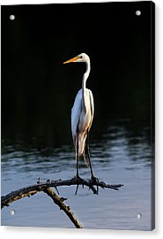 Maryland Great Egret Acrylic Print