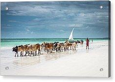 Masai Cattle On Zanzibar Beach Acrylic Print
