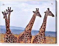 Masai Giraffe Acrylic Print