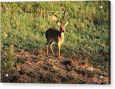 Masai Mara Dikdik Deer Acrylic Print