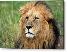 Masai Mara Lion Portrait    Acrylic Print