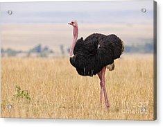 Masai Ostrich, Kenya Acrylic Print