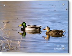 Mated Mallards Acrylic Print
