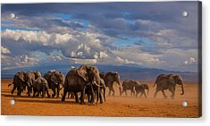 Matriarch On Amboseli Acrylic Print