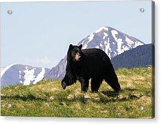 Mature Black Bear  Ursus Americanus Acrylic Print
