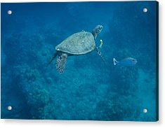 Maui Sea Turtle And Unicorn Fish Acrylic Print