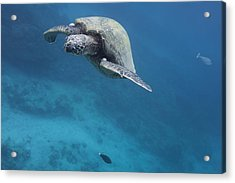 Maui Sea Turtle Approach Acrylic Print
