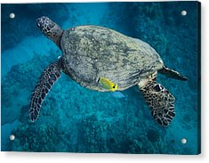 Maui Sea Turtle Cleaning Acrylic Print