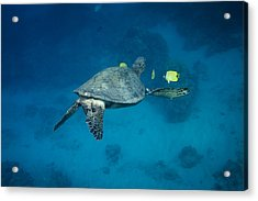 Maui Sea Turtle Cleaning Rear View Acrylic Print