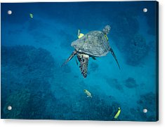 Maui Sea Turtle Cleaning Station Acrylic Print