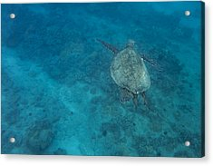 Maui Sea Turtle Comes In For A Landing Acrylic Print