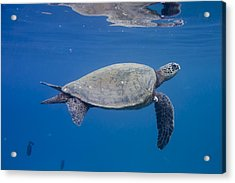 Maui Sea Turtle Deep Blue Acrylic Print