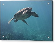 Maui Sea Turtle Dives Acrylic Print