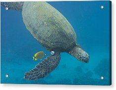 Maui Sea Turtle Dives To Cleaning Station Acrylic Print