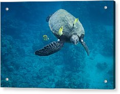 Maui Sea Turtle Faces Us Acrylic Print