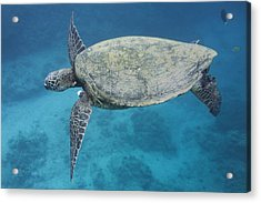 Maui Sea Turtle Flying Acrylic Print