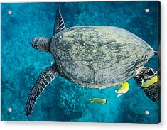 Maui Sea Turtle Flys In To A Cleaning Station Acrylic Print