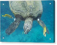 Maui Sea Turtle Gets Cleaned Acrylic Print