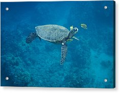 Maui Sea Turtle Head Up Cleaning Acrylic Print