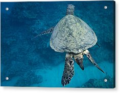 Maui Sea Turtle Passes By Acrylic Print