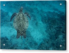 Acrylic Print featuring the photograph Maui Sea Turtle Scouts For A Spot by Don McGillis