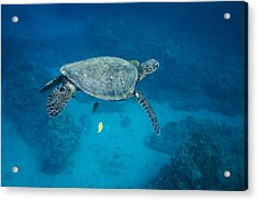 Maui Sea Turtle Suspended With Tail Tucked Acrylic Print