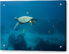 Maui Sea Turtle Suspened At Cleaning Station Acrylic Print