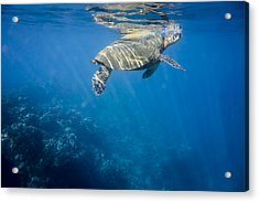 Maui Sea Turtle Takes A Breath At The Surface Acrylic Print