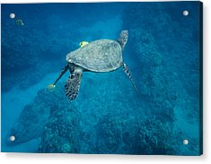 Maui Sea Turtle Tucks His Tail For Cleaning Acrylic Print