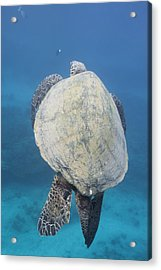 Maui Sea Turtle Vertical Acrylic Print