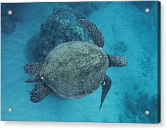 Maui Sea Turtles From Above Acrylic Print