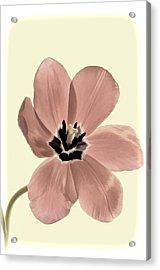 Mauve Tulip Transparency Acrylic Print