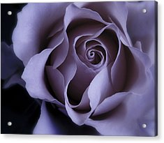 May Dreams Come True - Purple Pink Rose Closeup Flower Photograph Acrylic Print