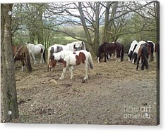 May Hill Ponies 2 Acrylic Print