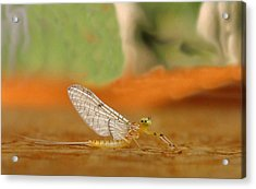 Mayfly Art Acrylic Print by Thomas Young